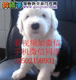 出售古代牧羊幼犬 有血统证 疫苗已做完^