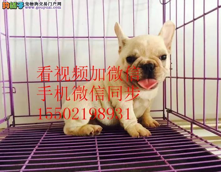 纯种CKU认证赛级犬短毛法国斗牛 伴侣犬
