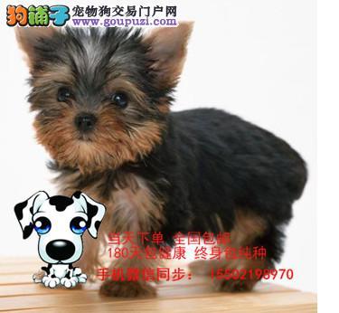 犬舍出售 纯血统 精品 约克夏