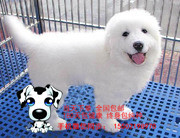 犬舍出售 纯血统 精品级大白熊犬