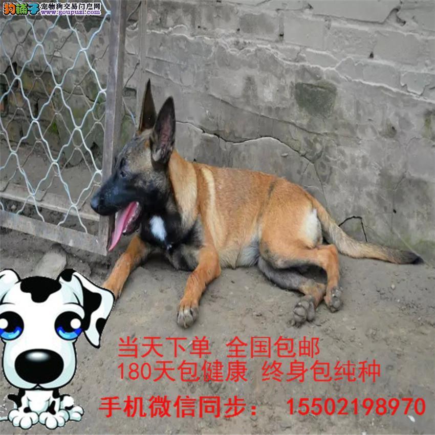 犬舍出售 纯血统 精品马犬