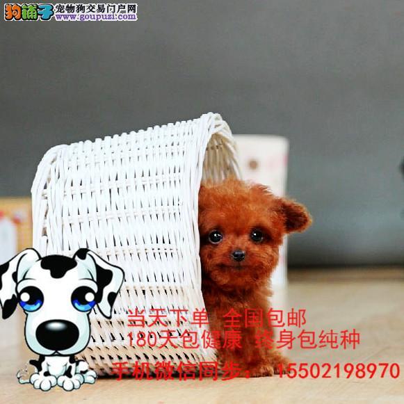 出售 双血统 精品 茶杯犬