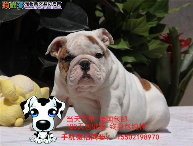 犬舍出售 精品级纯血统英国斗牛犬