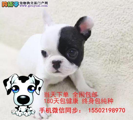 犬舍出售精品级纯血统法国斗牛犬
