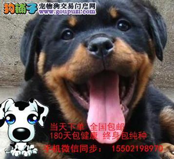 /猛犬罗威纳幼犬出售、大头宽嘴吧、公母可选、疫苗齐