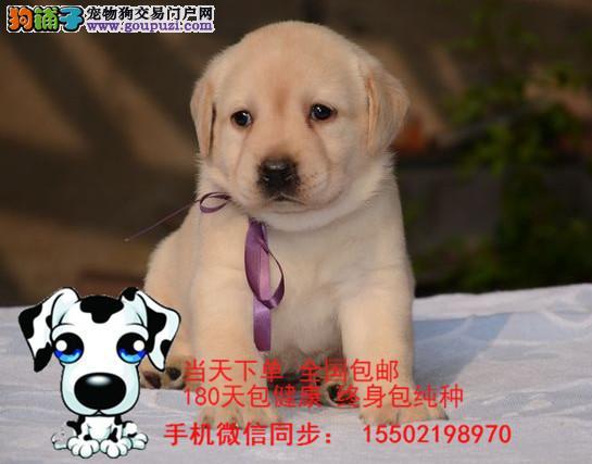 /出售纯种的聪明的拉布拉多幼犬品相好头版好 健康