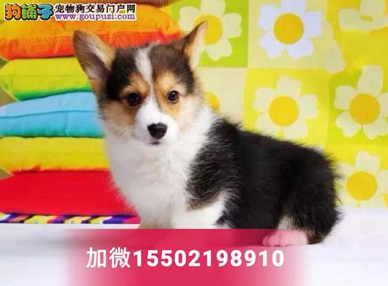 超漂亮鼻线好品相纯种柯基犬幼犬2