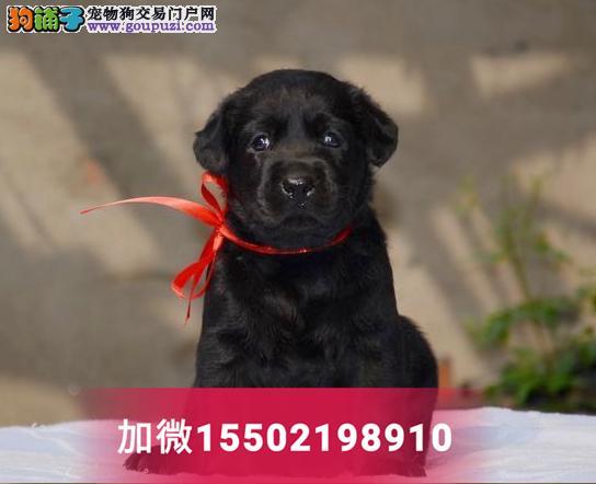 出售精品奶白色黑色纯种拉布拉多活体幼犬2