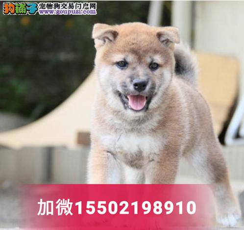 中型犬赛级血统幼崽出售纯种忠诚日本柴犬2