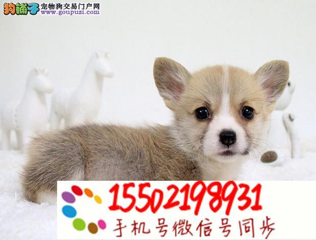 聪明个性的柯基纯种幼犬 保健康纯种