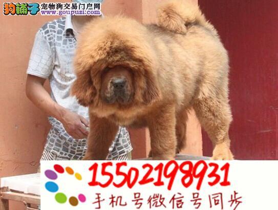 出售纯种藏獒幼犬 大骨架巨型犬 多色可选~