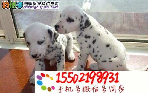 基地直销纯种 双血统短毛斑点幼犬可上门挑选