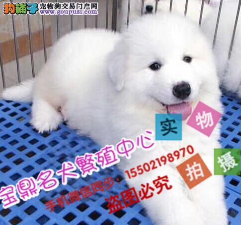 正规犬舍出售 精品级 大白熊
