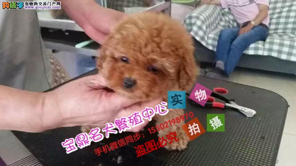 正规犬舍出售纯种精品贵宾犬