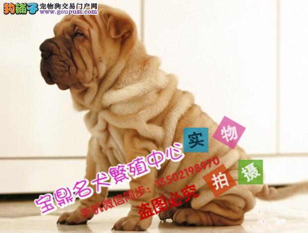 正规犬舍出售精品级沙皮犬