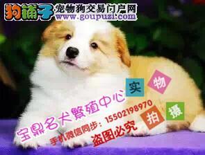 正规犬舍出售 纯种精品 边境牧羊犬