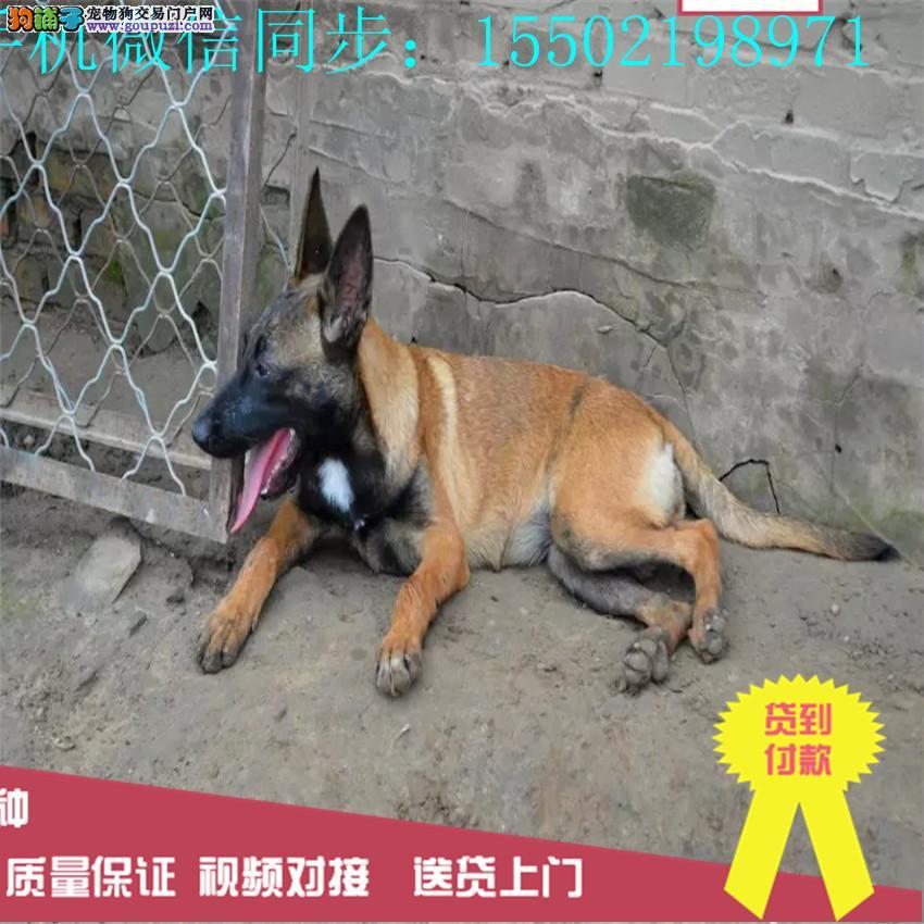 出售纯种比利时马犬聪明兴奋度高警觉性强动作灵敏