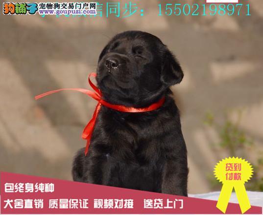出售纯种的聪明可爱的拉布拉多幼犬品相好头版好健康