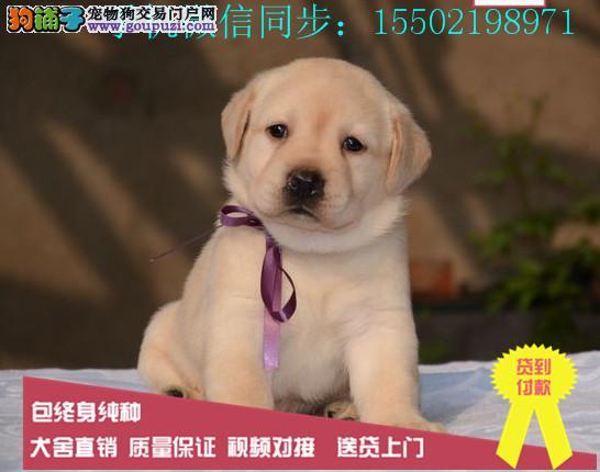 出售纯种的聪明的蠢萌拉布拉多幼犬品相好头版好健康|