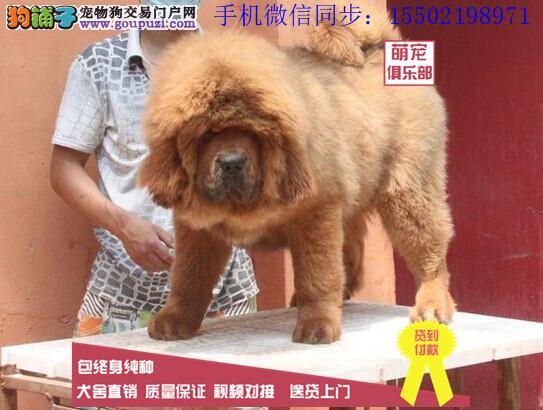 大狮头长毛藏獒高品质薪火怪兽标准牛系保纯保健康|