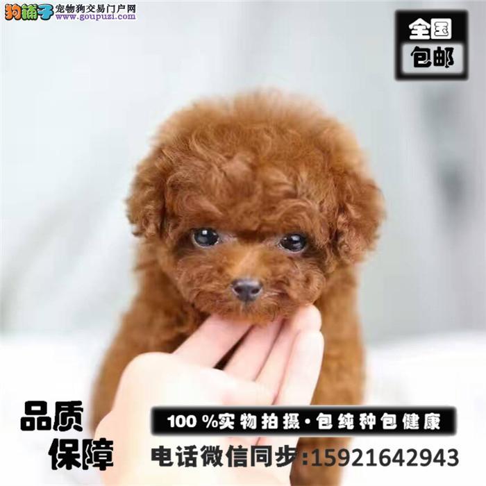 犬舍出售 纯种泰迪包养活 签协议 可送货上门颜色齐全