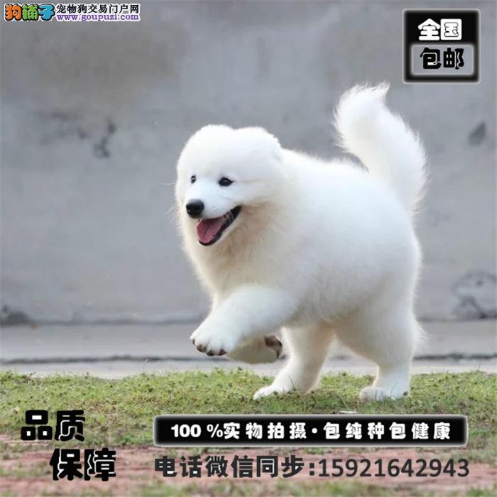 超萌萨摩耶出售,支持上门看狗,签合同,包养活送用品