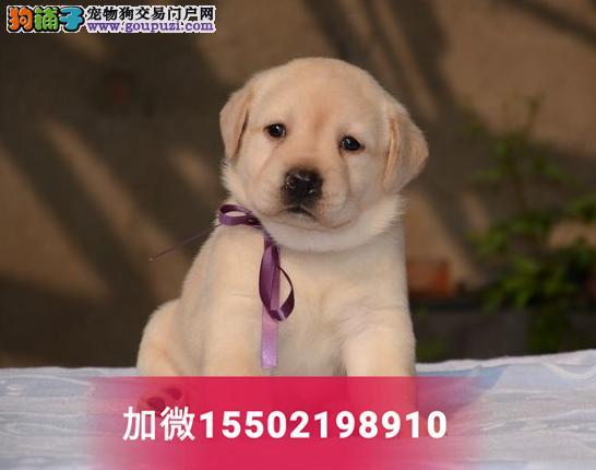 精品奶白色黑色纯种拉布拉多活体幼犬神犬小七导盲犬
