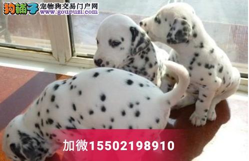 出售斑点狗/大麦町犬宠物狗狗纯种短毛斑点犬1