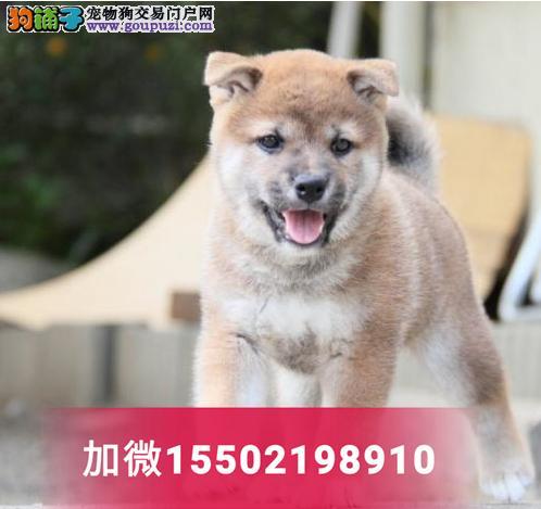秋田幼犬出售日本柴犬健康活体宠物狗狗1
