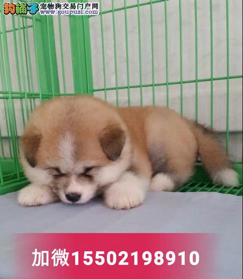 纯种赛级双血统秋田幼犬出售日本柴犬健康活体1