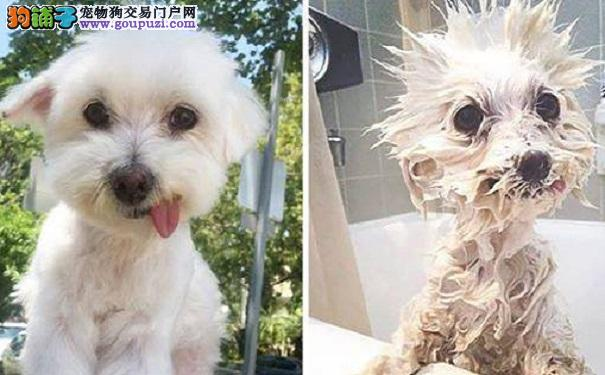 爆笑组图!为什么狗狗不喜欢洗澡?