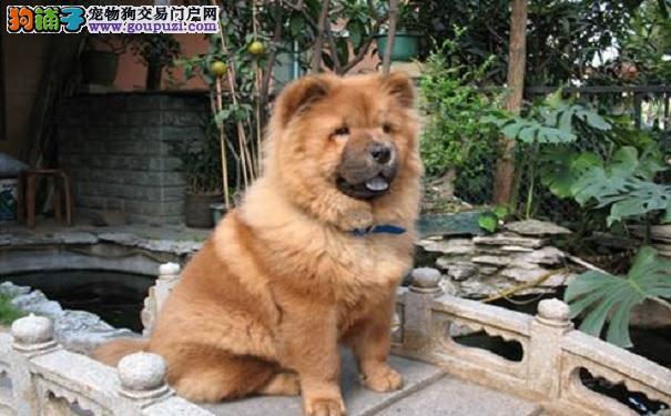 松狮犬的毛发怎么护理松狮犬美容的方法