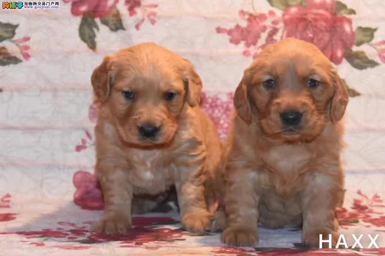 上海正规犬舍出售双血单血金毛上门可见狗父母包健康