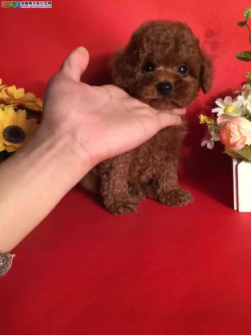 上海正规犬舍出售高品质茶杯体泰迪玩具泰迪各色都有