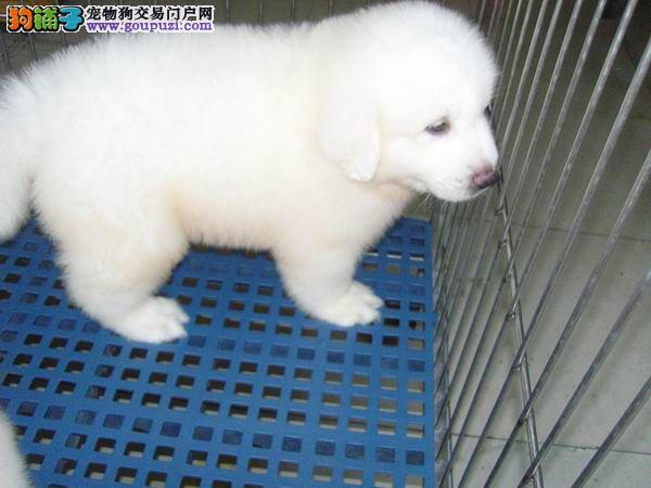 上海正规犬舍出售大白熊幼犬包健康签订售后欢迎实地看