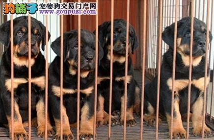上海正规养殖场出售德系精品罗威纳幼犬驱虫疫苗已做好