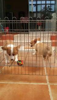 云南玉溪哪里有柯基犬卖狗场柯基犬常年出售