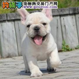 法斗 法国斗牛犬出售 纯种法牛幼犬