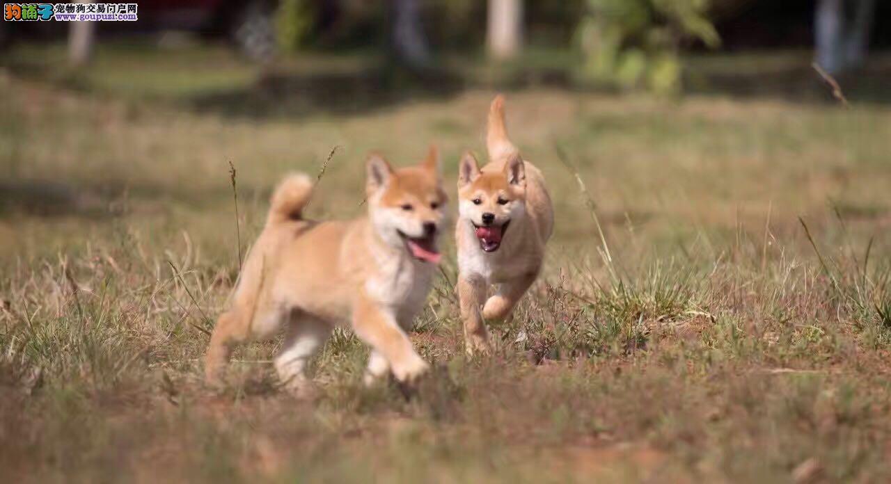 精品柴犬 犬舍出售双血统赛级柴犬
