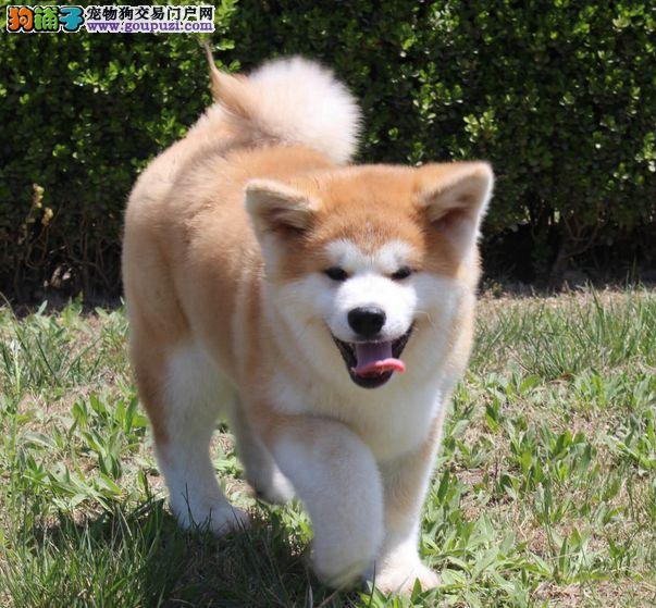 秋田犬繁殖基地,正规繁育健康纯种秋田幼犬
