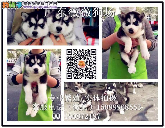 广州哈士奇繁殖基地 哈士奇犬舍