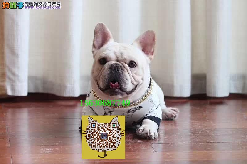 超短体 法国斗牛犬 高端宠物犬 血统纯正保售后