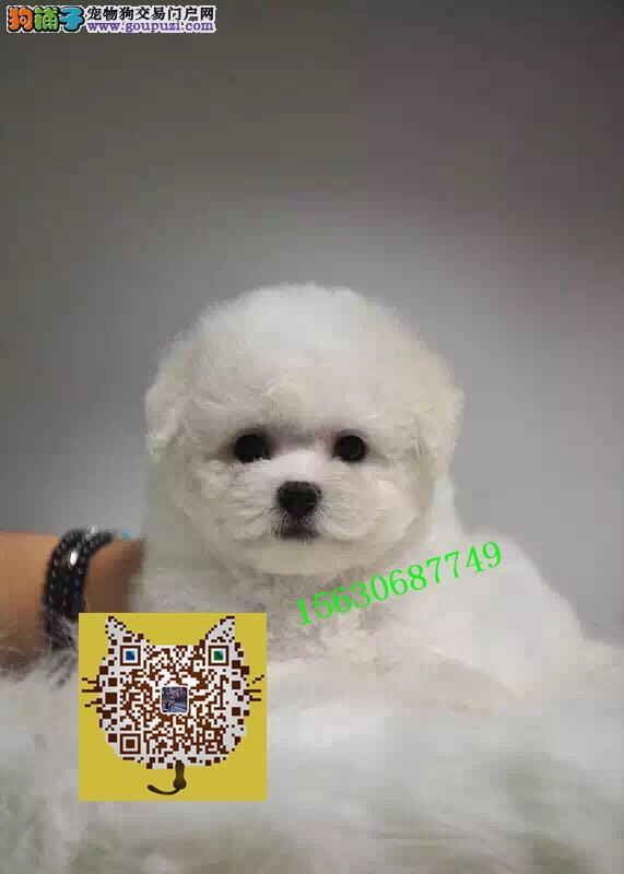 大棉花糖卷毛法国小比熊犬宝宝出售