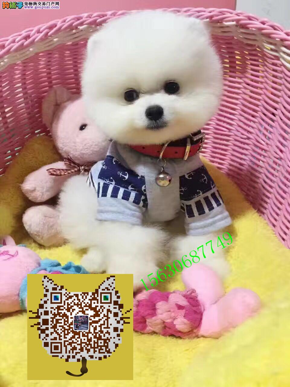 球体哈多利博美犬 可爱超萌 小型犬