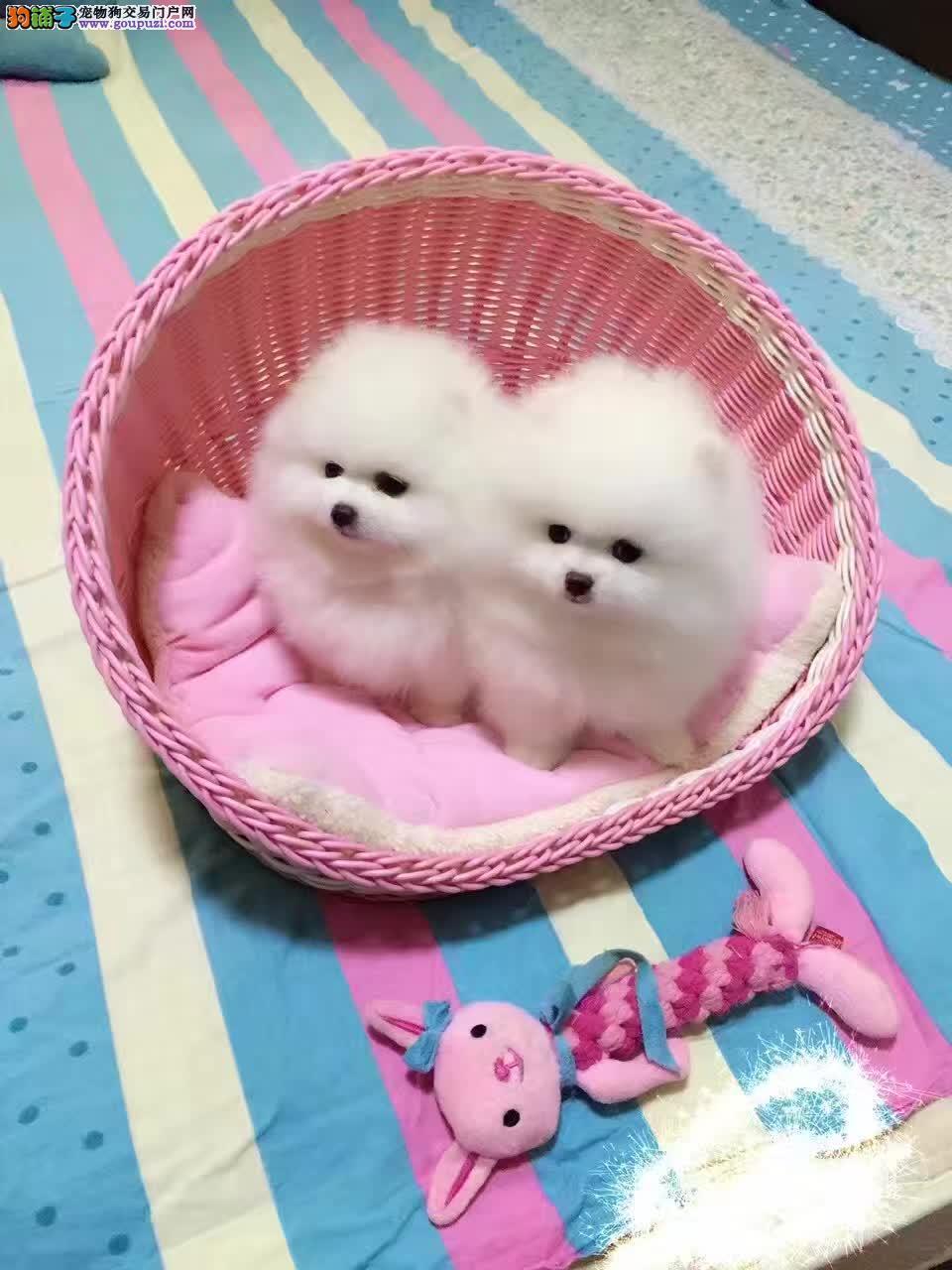 球体哈多里纯种博美犬,小型犬,家庭伴侣犬