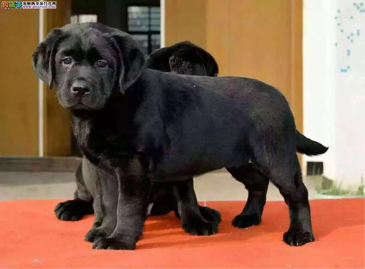 家庭伴侣犬,纯种拉布拉多犬,高品质赛级血统