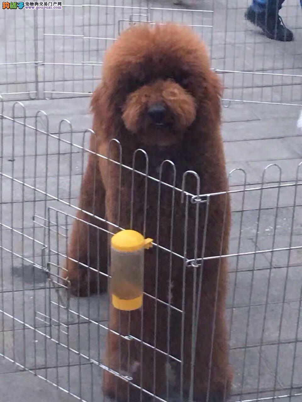 纯种健康标准体玩具体泰迪幼犬茶杯犬贵宾犬巨贵