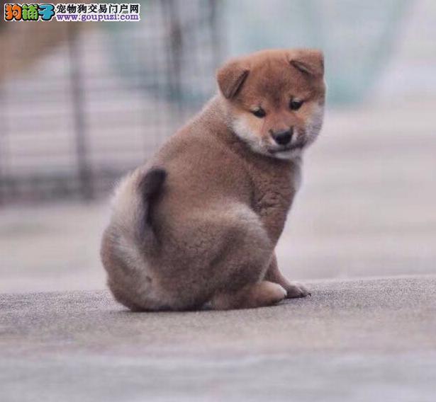 纯种日本柴犬幼犬出售自家繁殖签协议品质保障