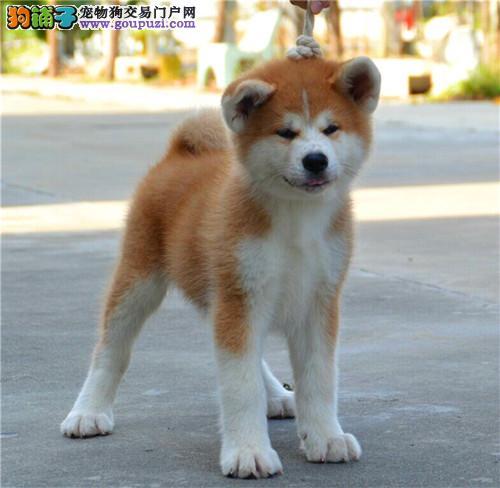 自家繁育纯种日系秋田犬 来可见父母 签协议