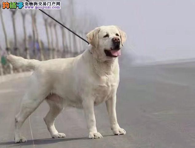 专业犬舍繁殖拉布拉多血统高品质 可签协议